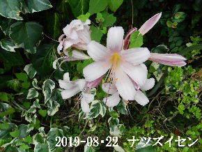 2019-08・22 今日の出遭い・・・ (5).JPG