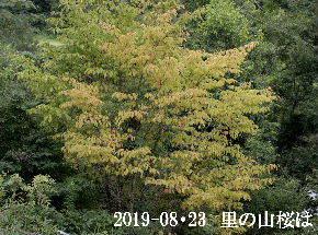 2019-08・23 里の山桜は・・・ (1).JPG