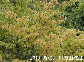 2019-08・23 里の山桜は・・・ (2).JPG