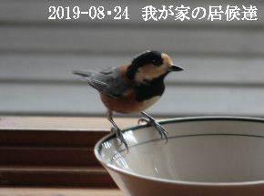 2019-08・24 我が家の居候達・・・ (5).JPG